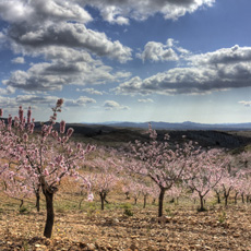 Almonds in Spain